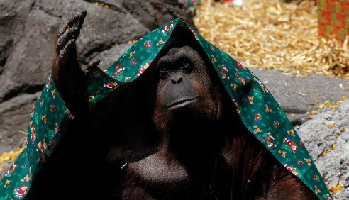 An orangutan named Sandra, covered with a blanket, gestures inside its cage at Buenos Aires' Zoo