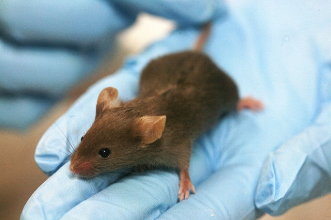 A lab mouse used for testing. Photo courtesy of Rama, Creative Commons.