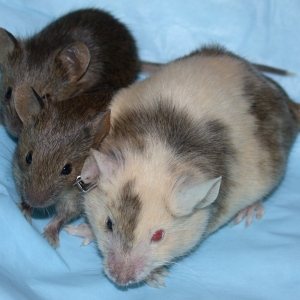 Chimera mice. (Picture taken from the NIH website.)